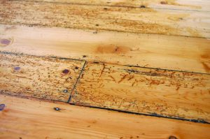 woodworm pests